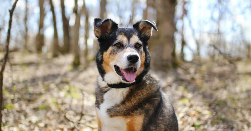 A beautiful old, German Shepherd - Border Collie Mix breed dog, Shollie, is sitting outside in the deciduous forest, listening with his ears perked up.