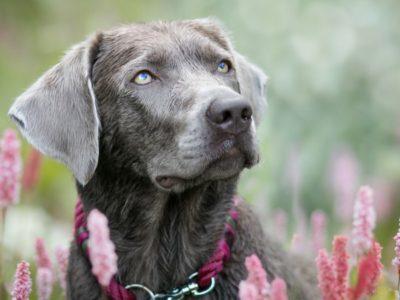A Silver Labrador