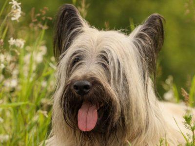 A Skye Terrier