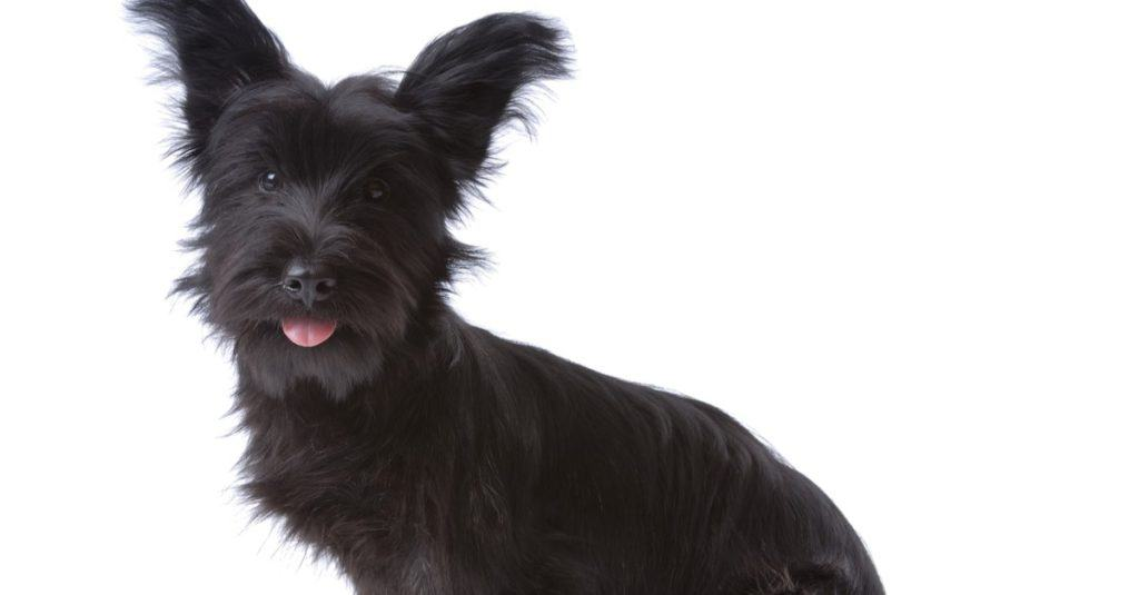 Skye terrier puppy