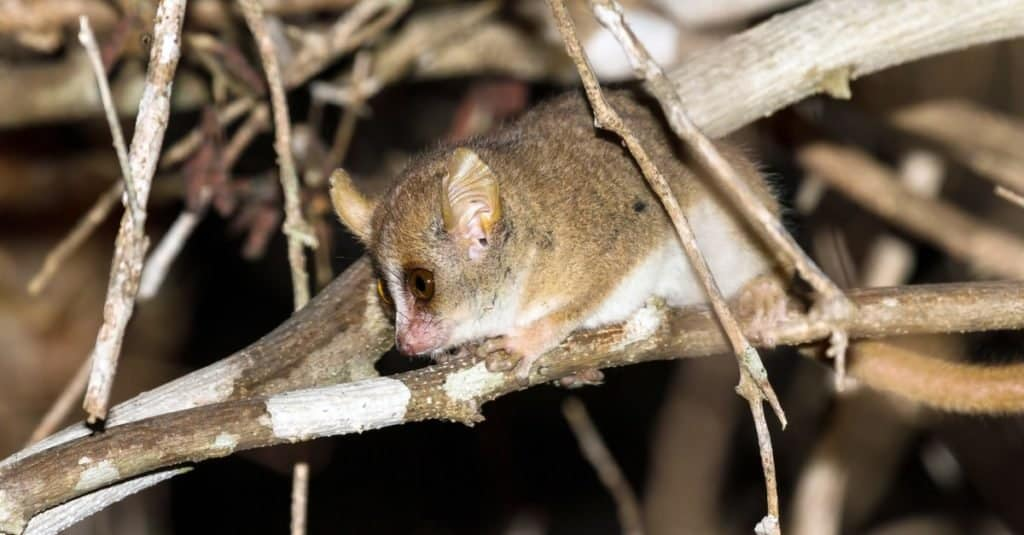 Smallest Animals: Lemur
