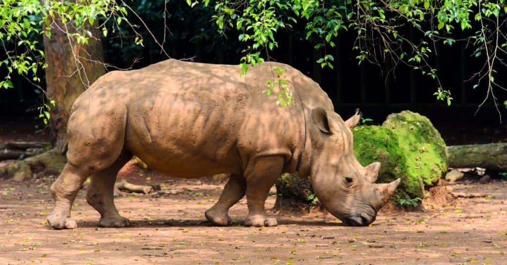 Smallest Animals: RhinocerosSmallest Animals: Rhinoceros