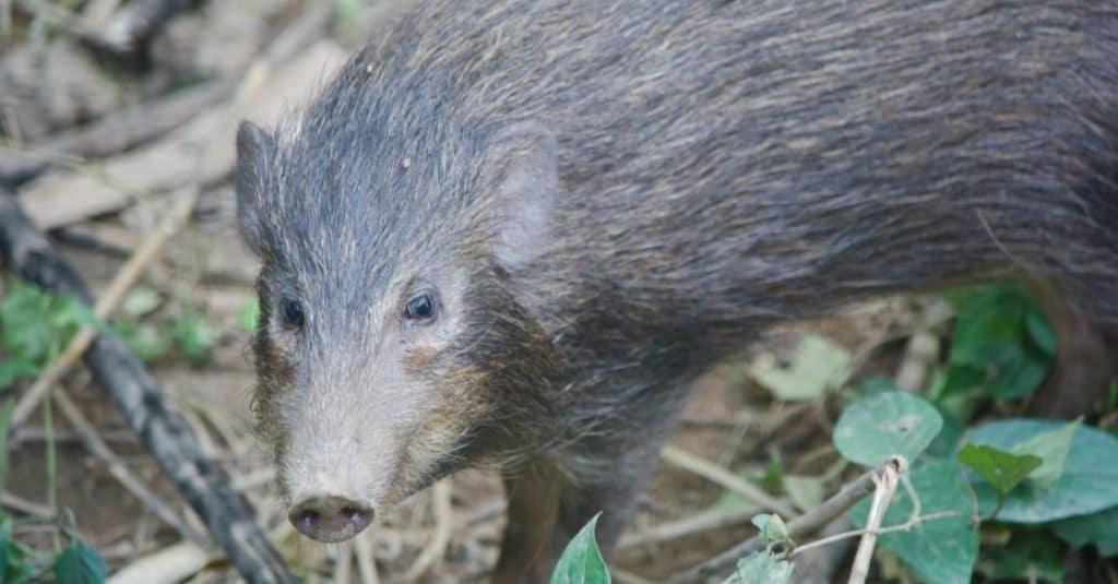 Smallest Animals: Wild Pigs