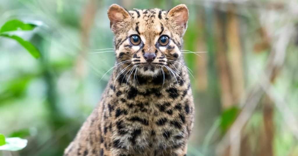 Gatos más pequeños_ Gato veteado de Borneo