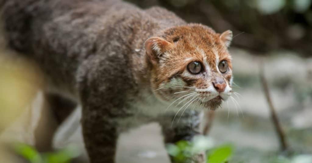Gatos más pequeños: gato de cabeza plana
