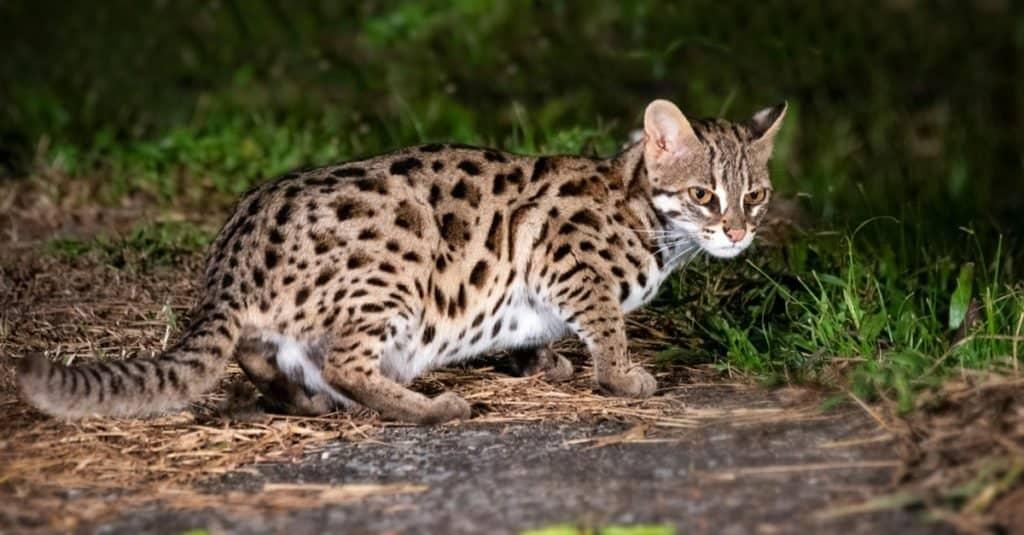 Gatos más pequeños: gato leopardo