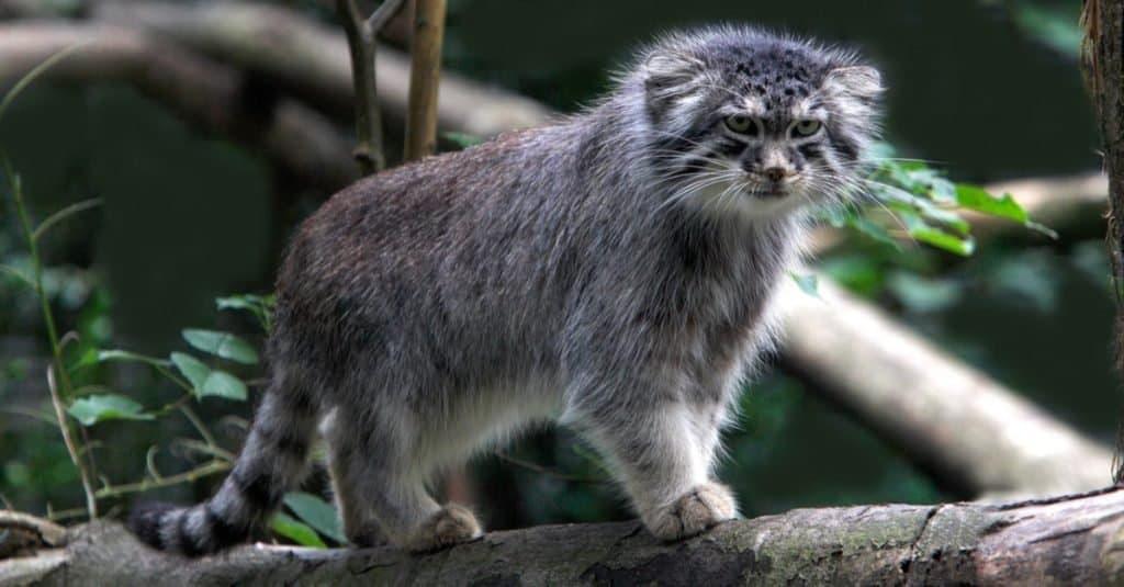 Los gatos más pequeños: el gato de Pallas