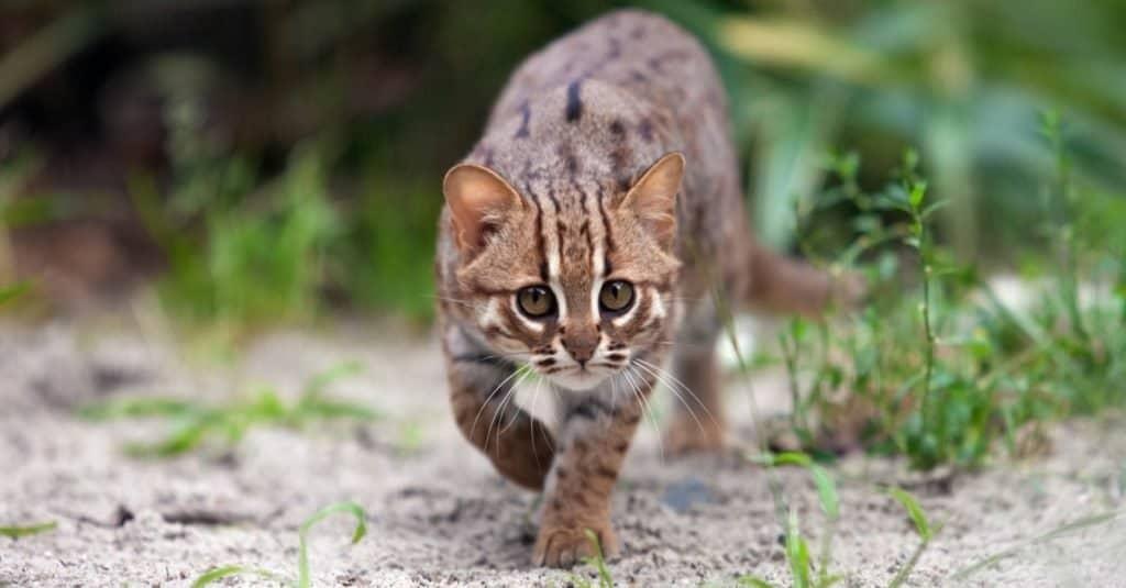 Gatos más pequeños: gato manchado oxidado