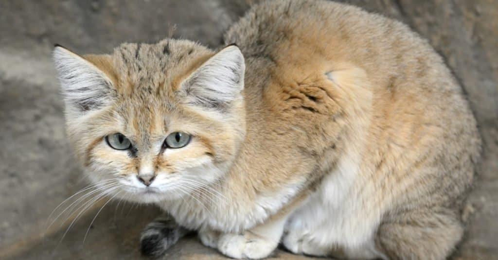 Gatos más pequeños_ Gato de las dunas de arena