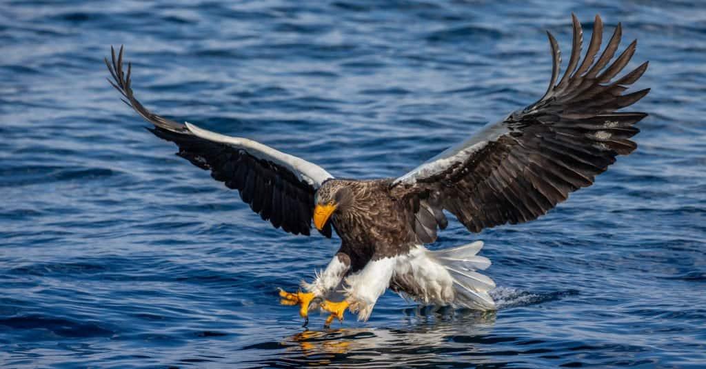 Las aves de presa más grandes: águila marina de Steller