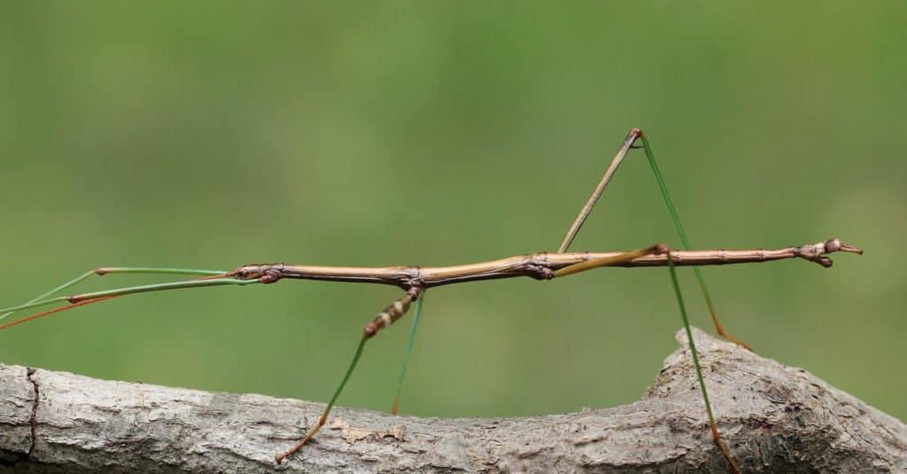 Insectos más grandes: insectos palo