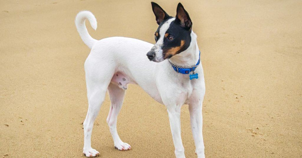 Tenterfield Terrier with a blue collar is standing on the sand