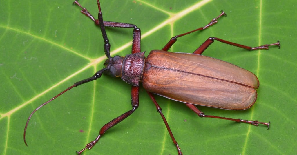 Largest Insects - Titan Beetle