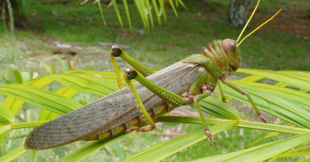 Los insectos más grandes: saltamontes Tropidacris