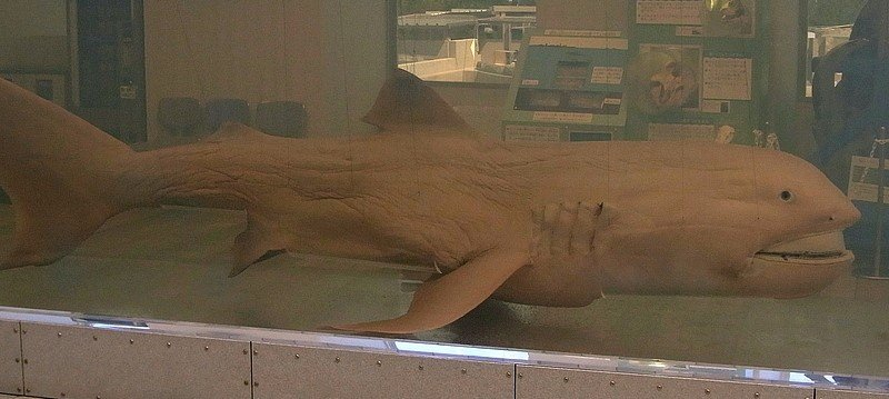 Weirdest Animals Megamouth Shark
