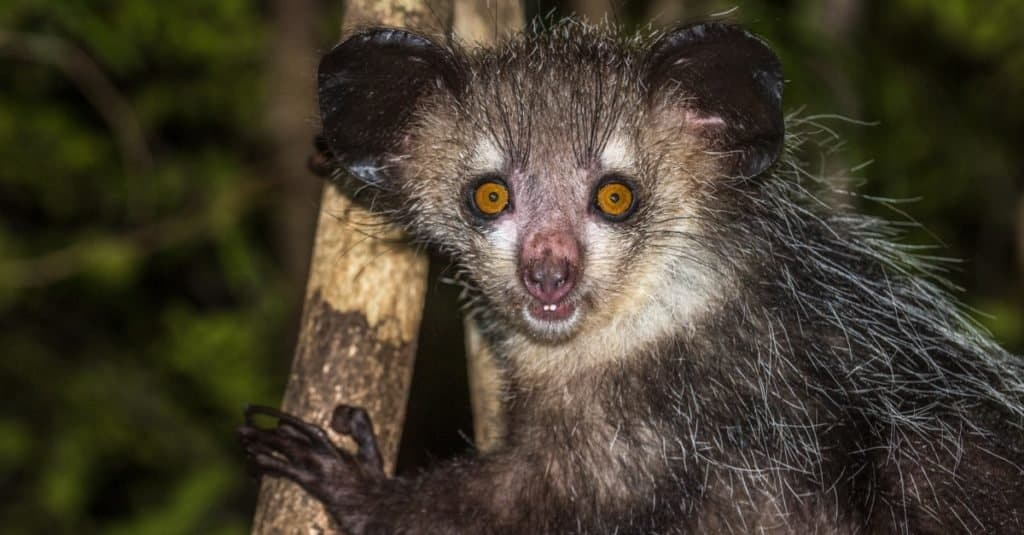 Weirdest Animals: Aye-aye