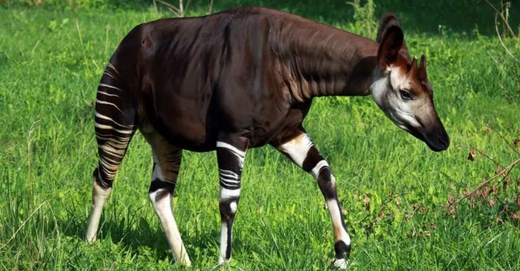 Weirdest Animals Okapi