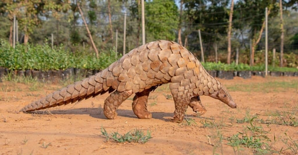 Weirdest Animals: Pangolin