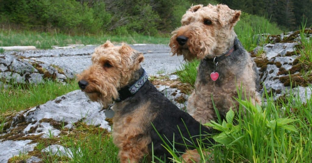 Two welsh terrier dogs sitting at the river