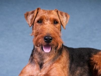 A Welsh Terrier