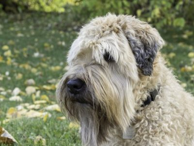 A Wheaten Terrier