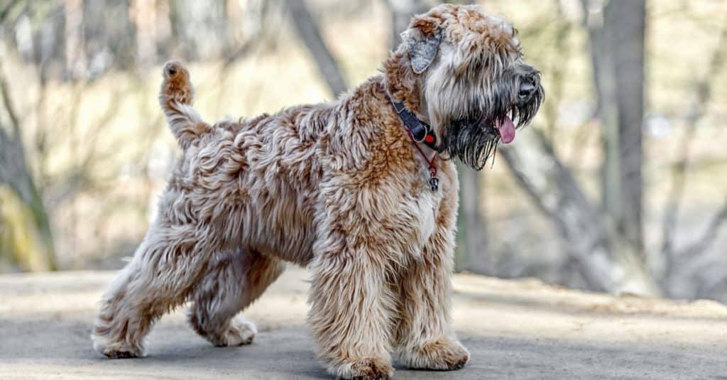 Standing Irish Soft Coated Wheaten terrier.