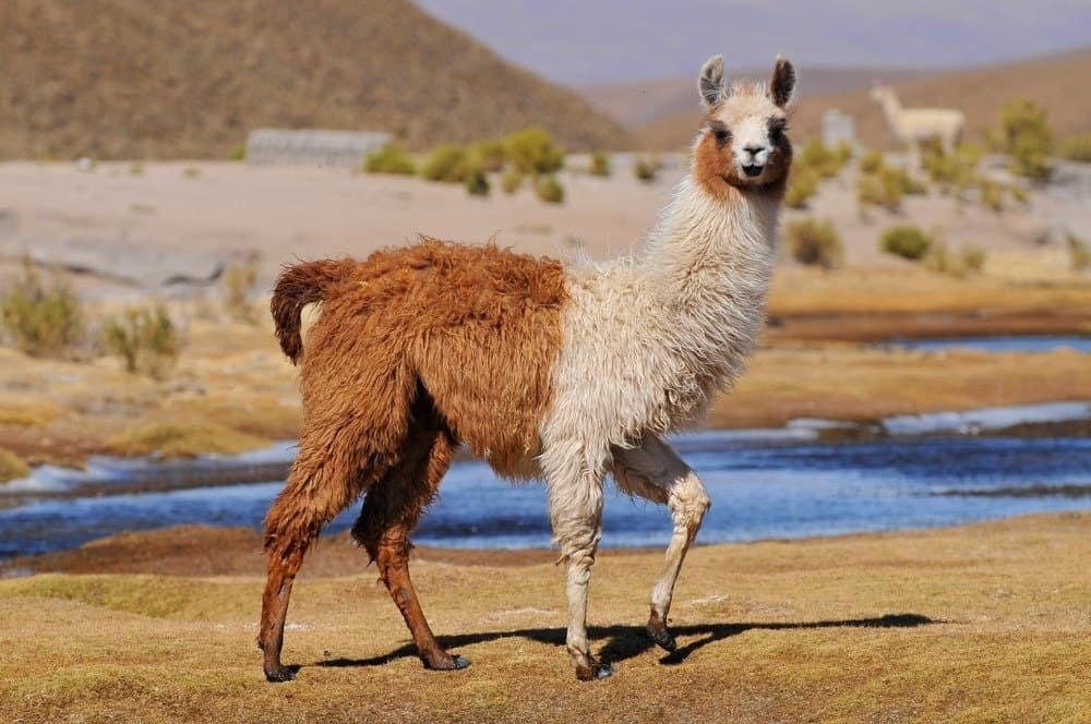 A llama standing in dead grass near a small body of water.