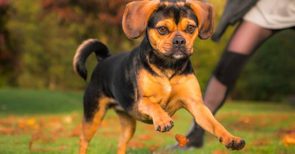 Close-up of a cute Puggle playing outside in autumn