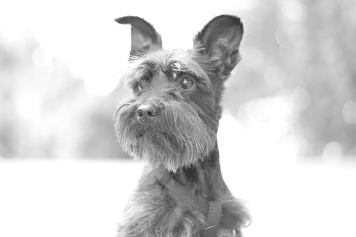 A regal Snorkie in black and white