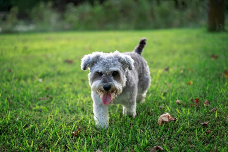A cute Snorkie puppy