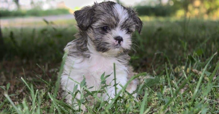 Torkie Puppies Are Easy To Housebreak
