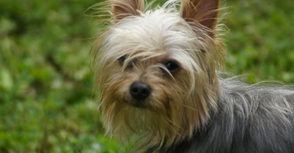 Yorkie Pom Knows He Is Adorable