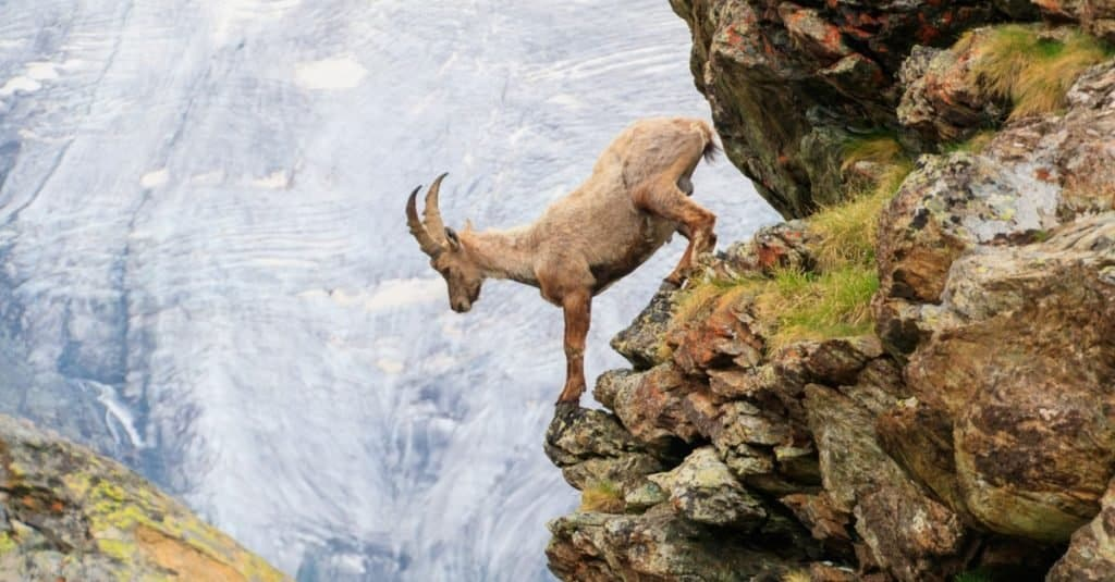 An Alpine Goat descends a cliff of a mountain in the Swiss Alps.