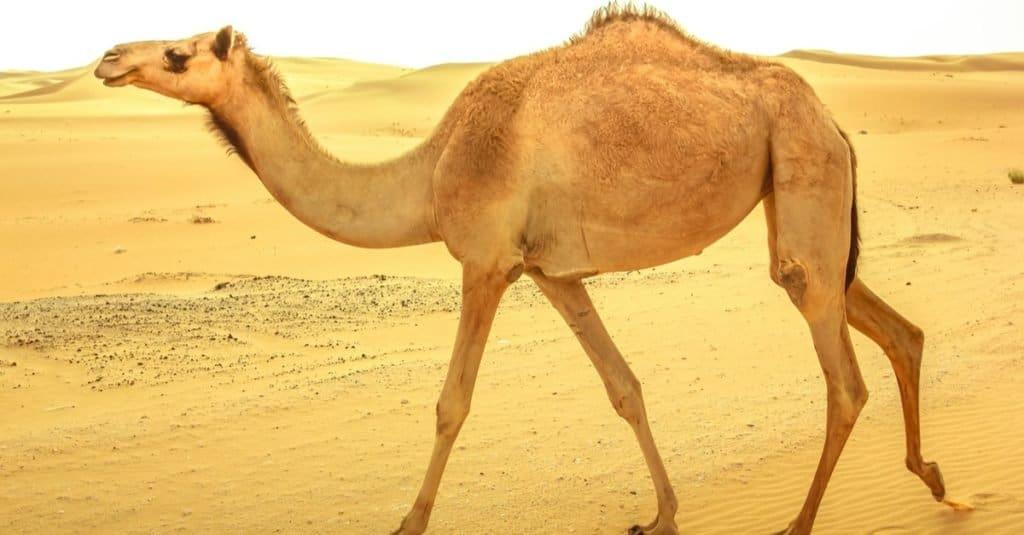Increíbles animales del desierto: camello dromedario