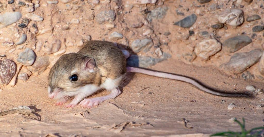 Increíbles animales del desierto: la rata canguro de Merriam