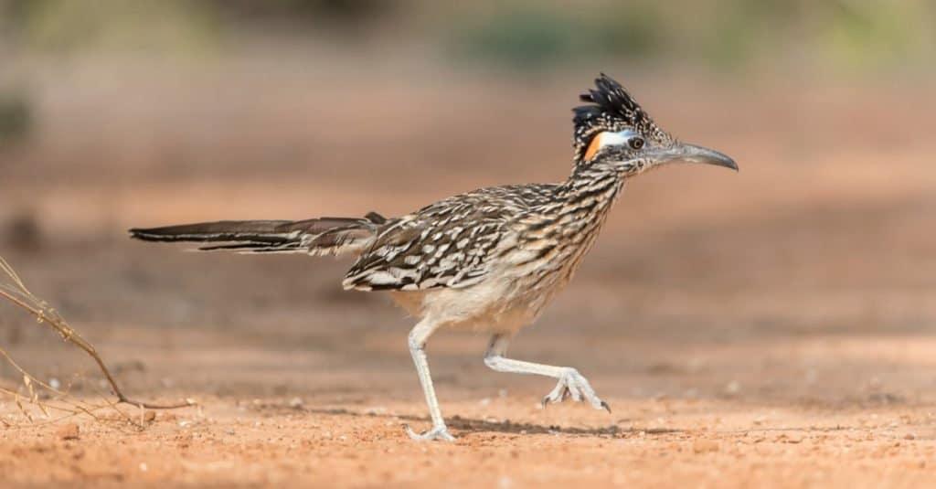 Increíbles animales del desierto: Correcaminos