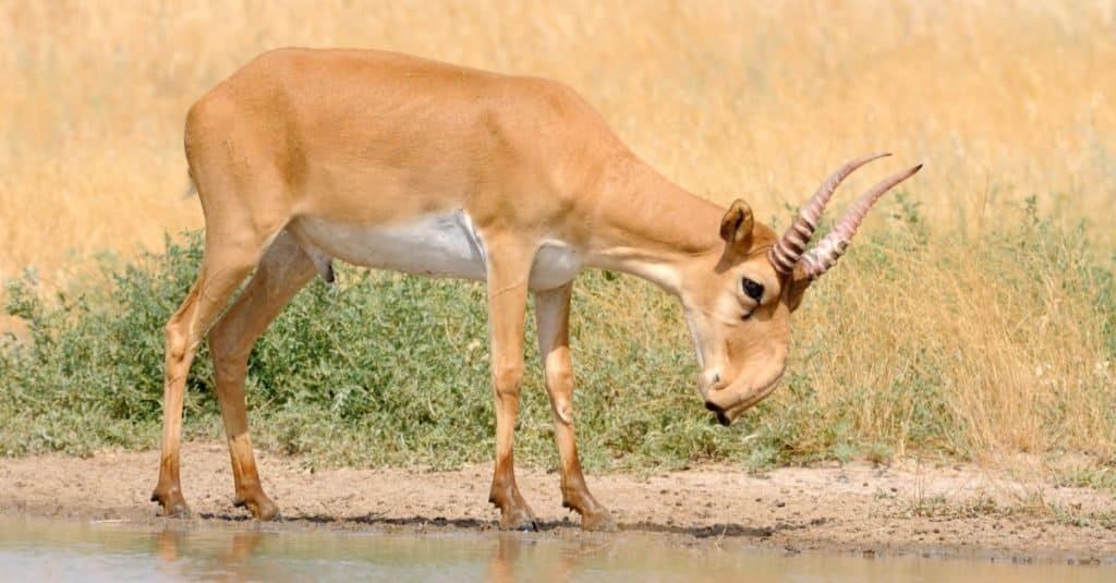 Increíbles animales del desierto: Saiga