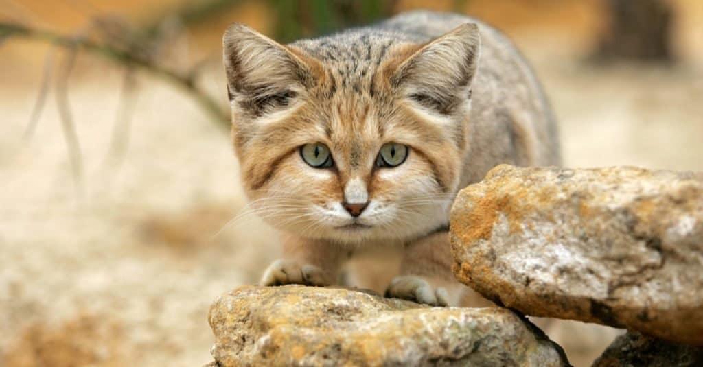 Increíbles animales del desierto: gato de arena