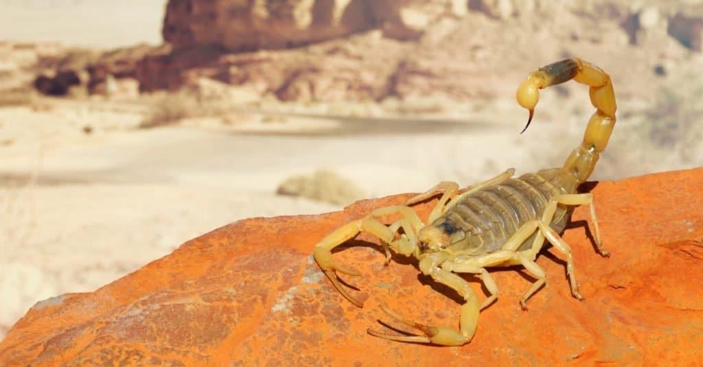 Increíbles animales del desierto: escorpión