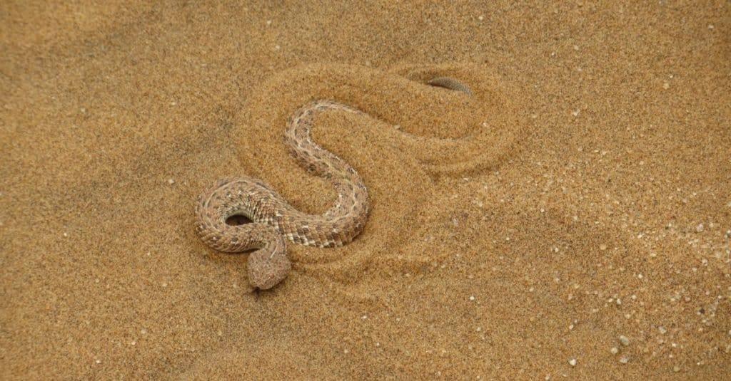 Increíbles animales del desierto: Sidewinder