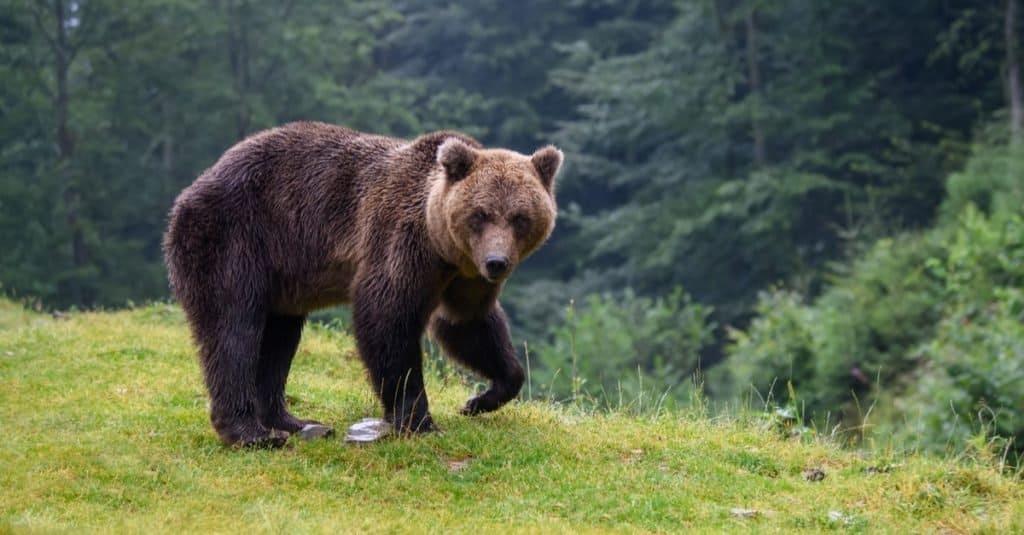 Increíble animal de montaña: oso pardo