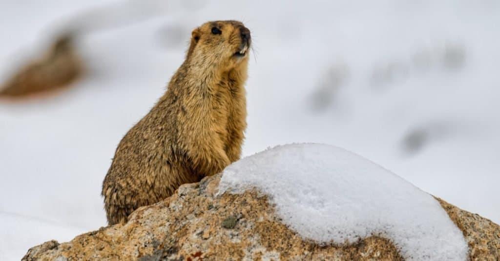 Increíble animal de montaña: marmota del Himalaya