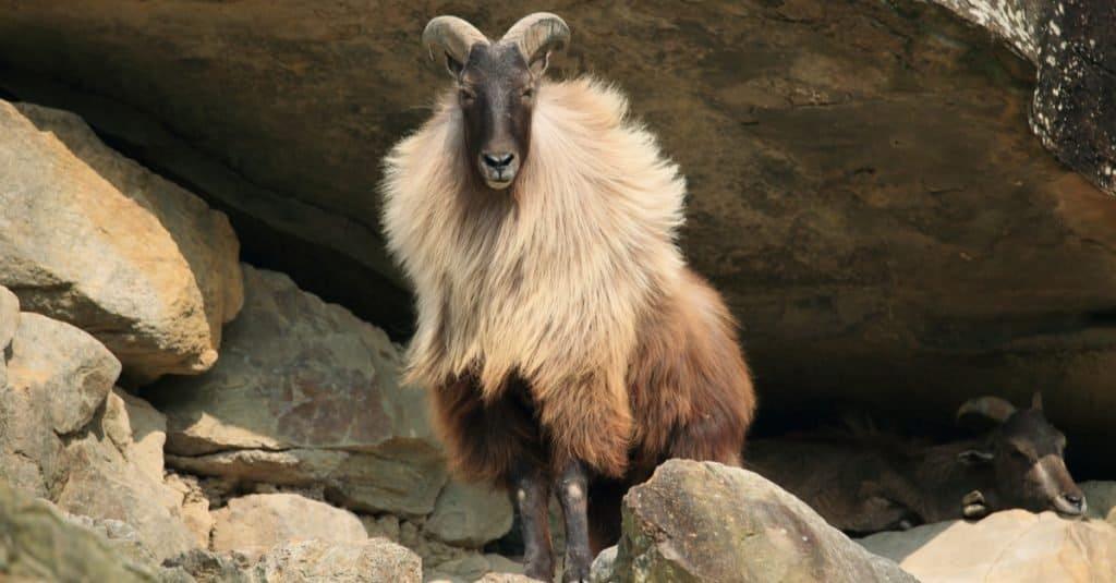 Increíble animal de montaña: Tahr del Himalaya