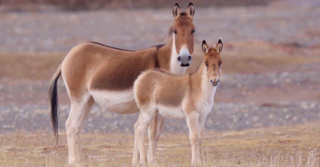 Increíble animal de montaña: Kiang