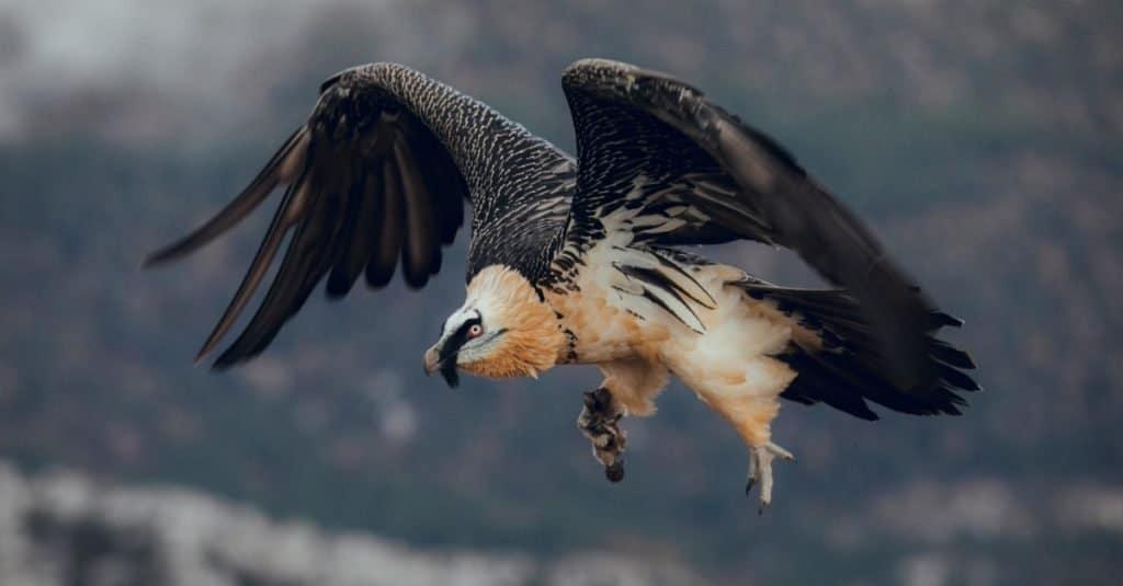 Increíble animal de montaña: Quebrantahuesos