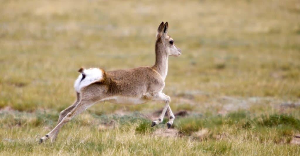 Increíble animal de montaña: gacela tibetana