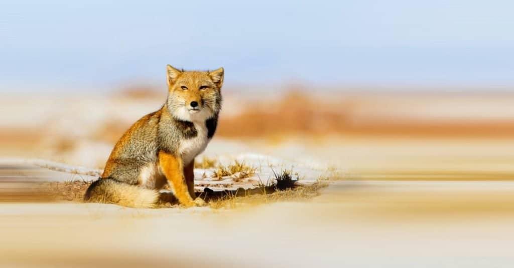 Increíble animal de montaña: zorro de arena tibetano