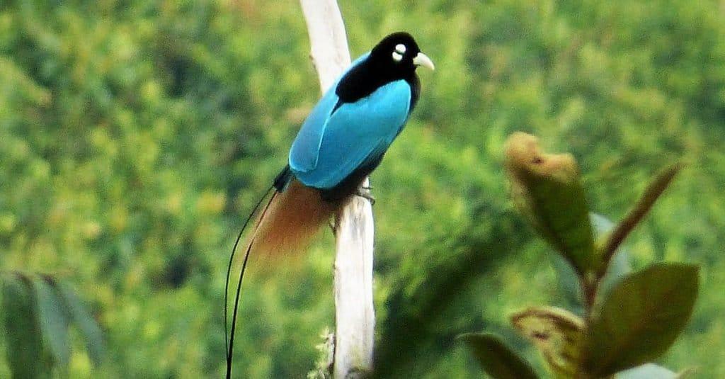 Amazing Rainforest Animal Blue Bird-of-Paradise