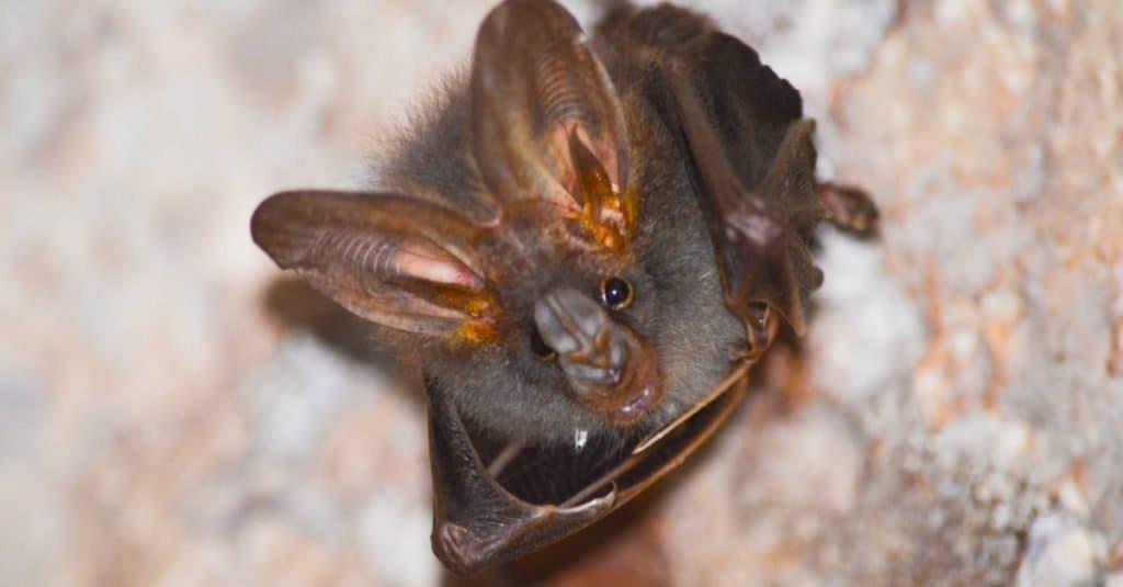 Amazing Rainforest Animal: Australian False Vampire Bat