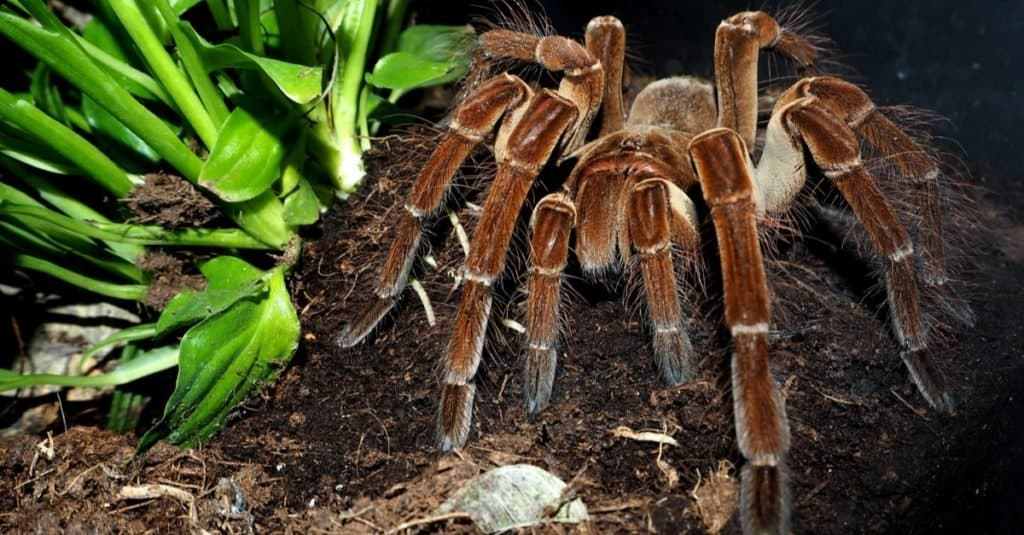 Amazing Rainforest Animal: Goliath Bird Eating Spider